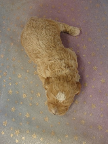 Male Cockapoo Puppy for sale #1 Born February 15, 2012 4