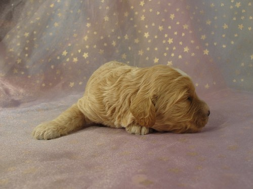 Male Cockapoo Puppy for sale #1 Born February 15, 2012 5