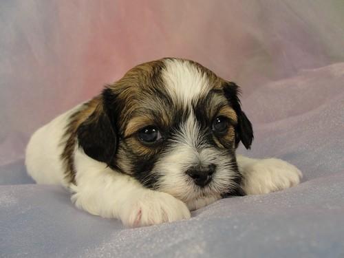 Shih Tzu Bichon Puppies For Sale In Iowa Ready May 2012