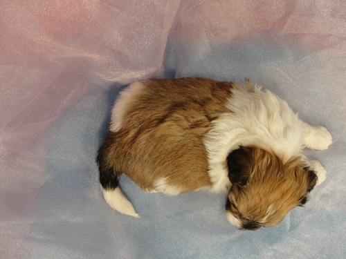 Male Shih Tzu Bichon Puppy for sale #34 Born March 20th 2012 4