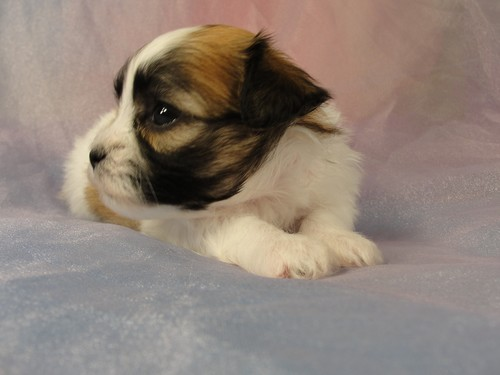 Female Puppy #36 2