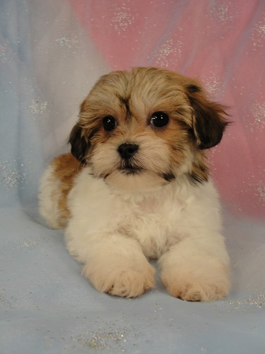 Female Shih tzu bichon puppy for sale #14 Born November 26, 2011  2