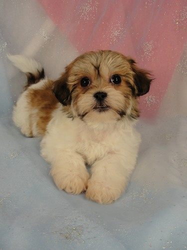 Female Shih tzu bichon puppy for sale #14 Born November 26, 2011  3