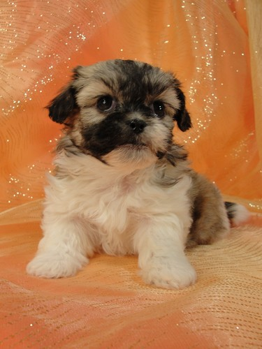 Female Shih tzu Bichon teddy bear puppy for sale #26 Born January 9th, 2012 5