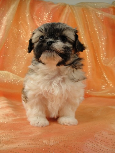 Female Shih tzu Bichon teddy bear puppy for sale #26 Born January 9th, 2012