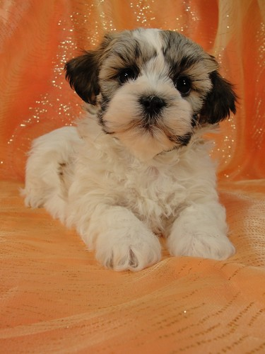 Male Shih Tzu Bichon Teddy bear puppy for sale #27 Born January 9th 2012