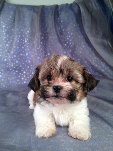 Female teddy bear Puppy for sale #3 Ready March 2013|Teddy bear Breeders in NC Want to know how we ship for only $150