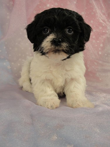 Female shih tzu Bichon puppy for sale #21 Born December 7, 2011 5