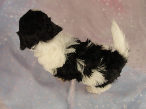 Female shih tzu Bichon puppy for sale #21 Born December 7, 2011 3
