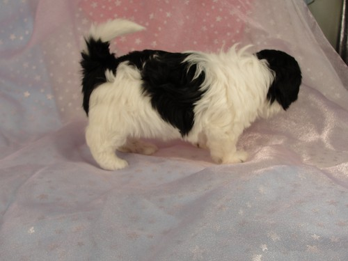 Female shih tzu Bichon puppy for sale #21 Born December 7, 2011 2