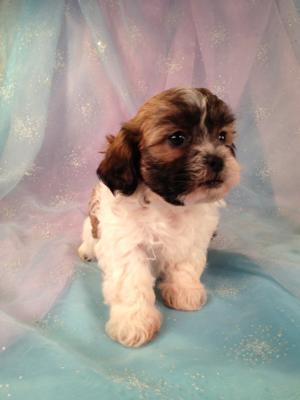 Female Shih tzu Bichon Puppy for sale #1 Born March 21st 2013|Teddy bear Breeders in Iowa|Easy to find if you are from Wisconsin or Illinois
