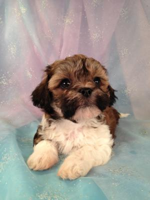 Female Teddy bear Puppy for sale #5 Born March 21st 2013|Teddy bears for sale in Wisconsin and Illinois usually cost More!