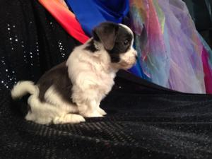 Iowa's Top Dog breeder is pleased to to have this rare Silver and White Teddy Bear Puppy for Sale-Located in Joice Iowa, 50446-Purebredpups