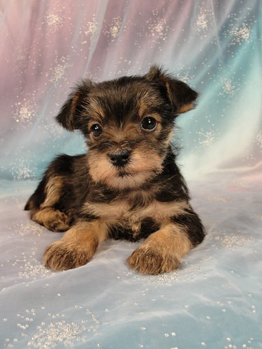 Female snorkie Puppy for sale #8 Born February 15, 2012