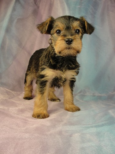 Female Snorkie Puppy for sale #5 Born December 18, 2011