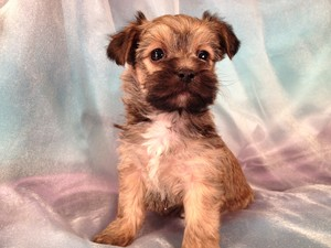 Male Snorkie Puppy #11|South of Minnesota|For Sale|Snorkie Breeder