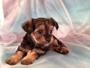 Female Snorkie Puppy #12|Ready December 2012|Christmas Puppy|Tri-color