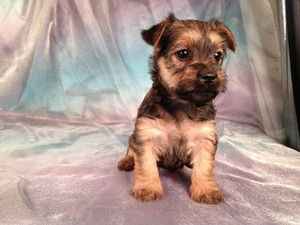 Female Snorkie Puppy for Sale #13 South of Minnesota In Joice Iowa|Visa and Mastercard Accepted