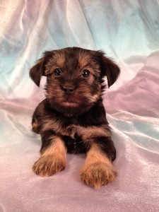 Male Snorkie Puppy for sale #14 Ready December or Christmas 2012|Ship to Boston Massachusetts, or Baltimore Maryland $150