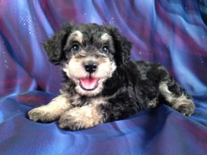 Male Snorkie Puppy for #1 DOB May 21st 2013|We are a short fun drive from Wisconsin,Illinois,Iowa, and Minnesota!