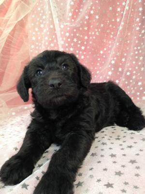 Male Standard schnoodle Puppy for sale DOB 2-22-15 $750 Great breeders for folks located in WI,IL,MN,IA