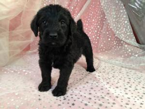 Black Male Standard Schnoodle Puppy for Sale #4 DOB 2-22-15 $750 Great Breeder for Standard Schnoodle Puppy Shoppers in WI,IL,IA, and MN.