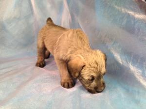 Male Standard Schnoodle for Sale #5 Puppies Born 2-22-15 Ready April 2015!