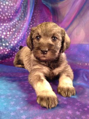 Female Salt and Pepper Standard Schnoodle Puppy for sale in Iowa (50446)