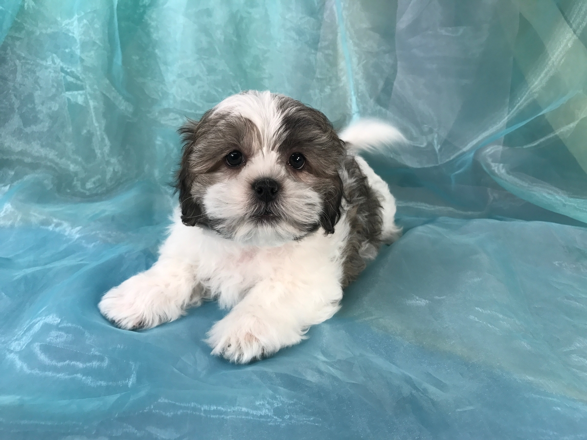 Male Teddy Bear Puppies for Sale|Iowa's Top Dog Breeder