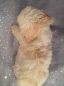Male White with light apricot Shih Tzu Bichon Puppy Ready Now!  4