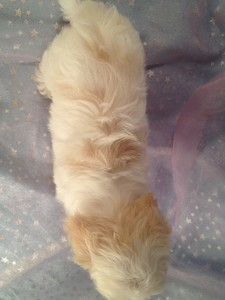 Male White with light apricot Shih Tzu Bichon Puppy Ready Now!  5