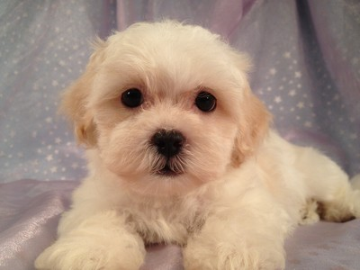 Male White with light apricot Shih Tzu Bichon Puppy Ready Now!  6