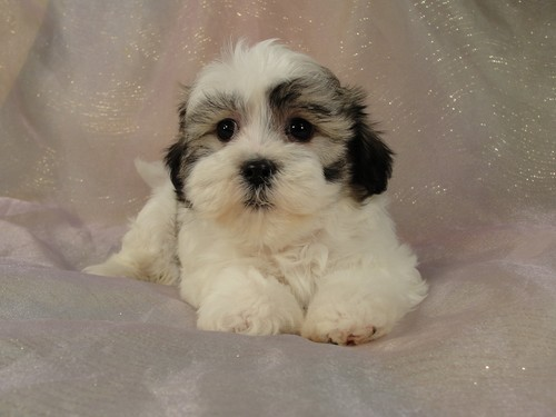 shih tzu bichon mix puppies for sale the gallery for gt black and white zuchon 964