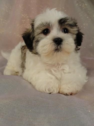 Iowa Shih Tzu Bichon Puppies For Sale 575