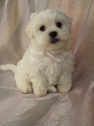 Female Shih tzu Bichon Puppy for sale # 1 Born February 16, 2012 3