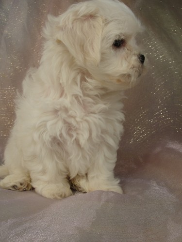 Female Shih tzu Bichon Puppy for sale # 1 Born February 16, 2012 2