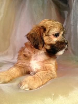 The Top Dog Breeders in Iowa are Now Showing the Latest Litter of Teddy Bear Puppies for Sale. Lachon Teddy Bears are a Mix Breed of Lhasa and Bichon. These Dogs are Ready Oct. 5th 2014