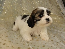 Female Lhasa Bichon Puppy for sale #6 Born December 7, 2011