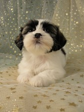 Female Lhasa Bichon Puppy for Sale #5 Born December 7, 2011