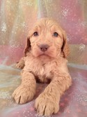 Red female Goldendoodle Puppy #20 Ready Soon|Shipping only $150 to Boston MA|Enjoy Great Shipping rates to Massachusetts and Many More at Purebredpups