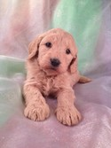Female Goldendoodle for sale #21 Ready Soon|We have a new litter of goldendoodles for sale|Shipping Delta to Charlotte or Raleigh Durham NC $150