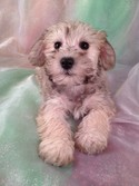 Female Schnoodle puppy for sale #7 Ready December 20th, 2012|Shipping to All Major Airports like Fort Lauderdale FL for only $150