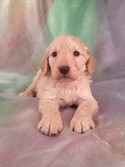 Goldendoodle puppies for sale in Atlanta Georgia are hard to find at fare Prices|Purebredpups ships for $150|Male Goldendoodle Puppy #22