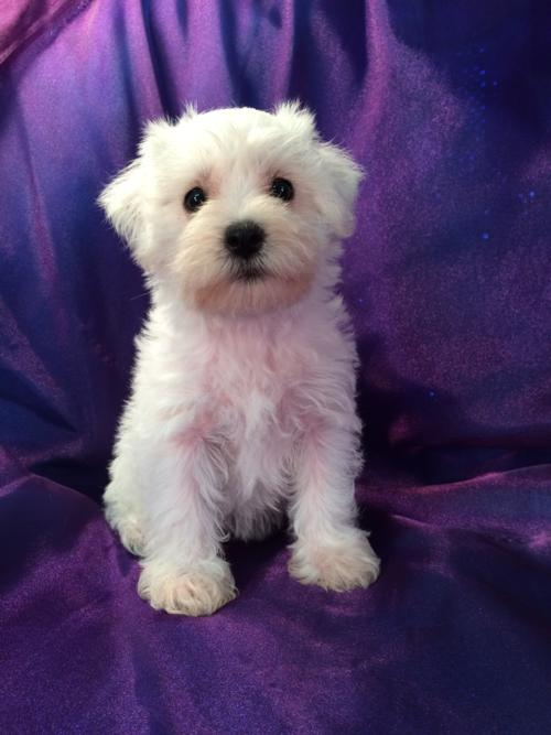 All White Female Miniature Schnoodle Pup for sale- Professionally Bred Schnoodle Litter