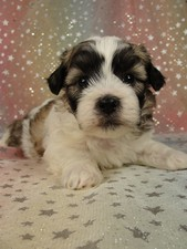 Male teddy bear puppies for sale Shih tzu bichon puppy #8 Born August 23, 2011