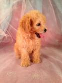 Female Bichon Poodle puppy for sale #1 Born June 1st 2013|We offer shipping fares to Florida, North Carolina, Massachusetts, Maryland, Rhode Island and many more for only $150