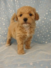 Female puppies Bichon poos Bichon poodle puppy for sale #4 Born September 6, 2011