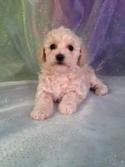 Female Bichon Poodle Puppy for sale #4 DOB 10-23-14 Professional Breeders