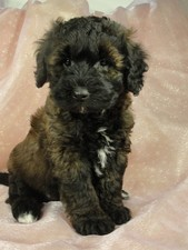 Male Bichon Poodle Puppy for sale # 7 Born September 20, 2011