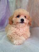 Female Bichon poo puppy for sale born 7-16-15 $875
